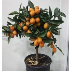 Kumquat o naranjo chino