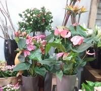 Venta de plantas de exterior, de interior, jardín en Terrassa