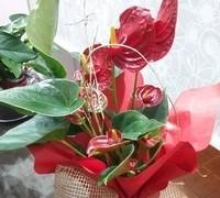 Corral Floristas, tenemos gran variedad de plantas de interior