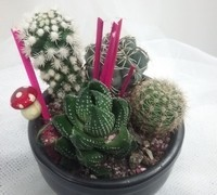 Los cactus son plantas de pocos cuidados, de facil cultivo y mantenimi